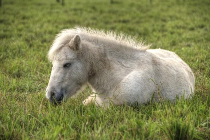 Bella - ein Mittagsschläfchen auf der Weide...